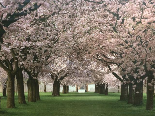 Where to find Backdrop - Cherry Blossom in Surrey